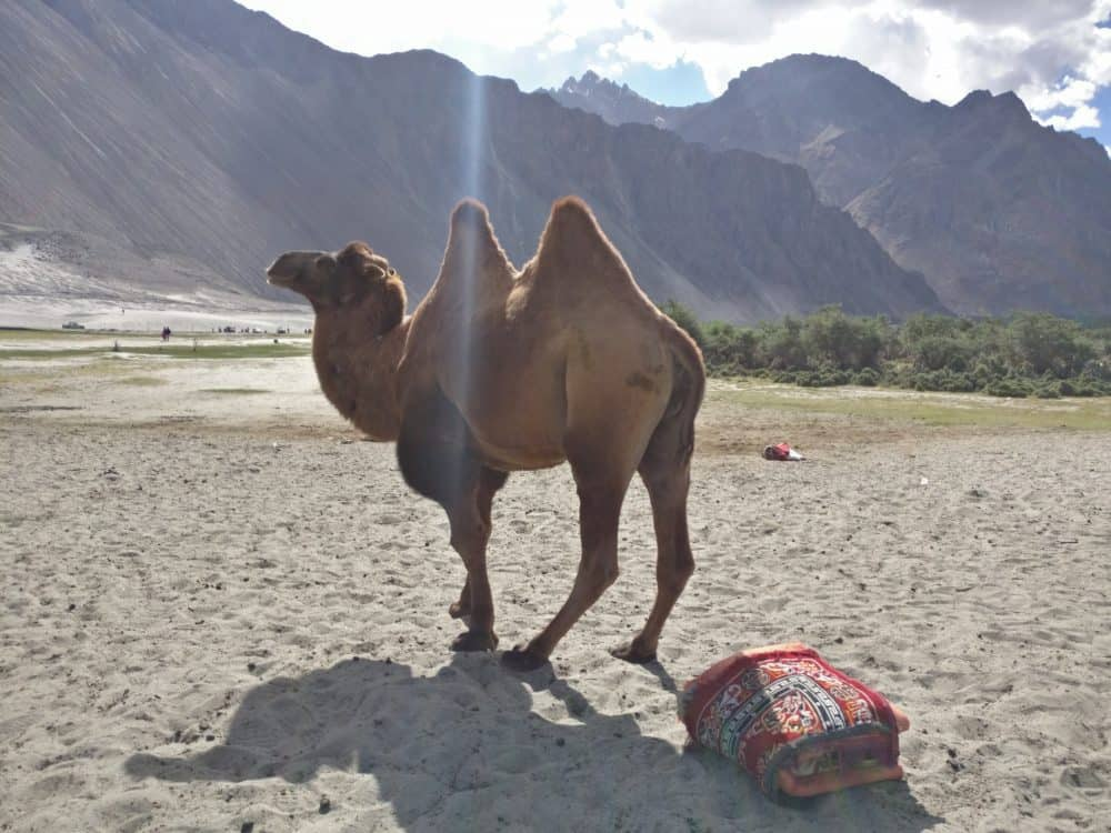 Double Humped Camel Leh Ladakh
