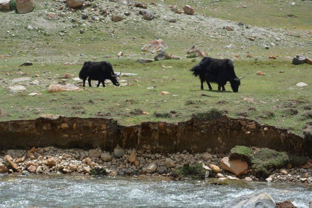 Leh Ladakh Yaks