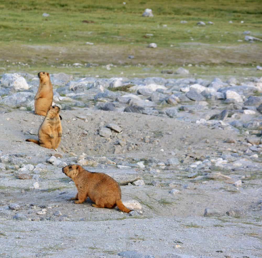 Marmots Leh Ladakh