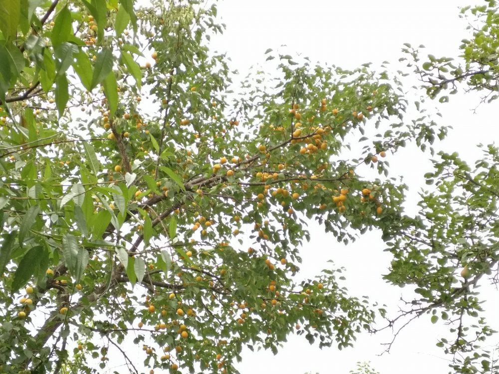 Grandma's House And Her Apricot Orchard Mukteshwar 2