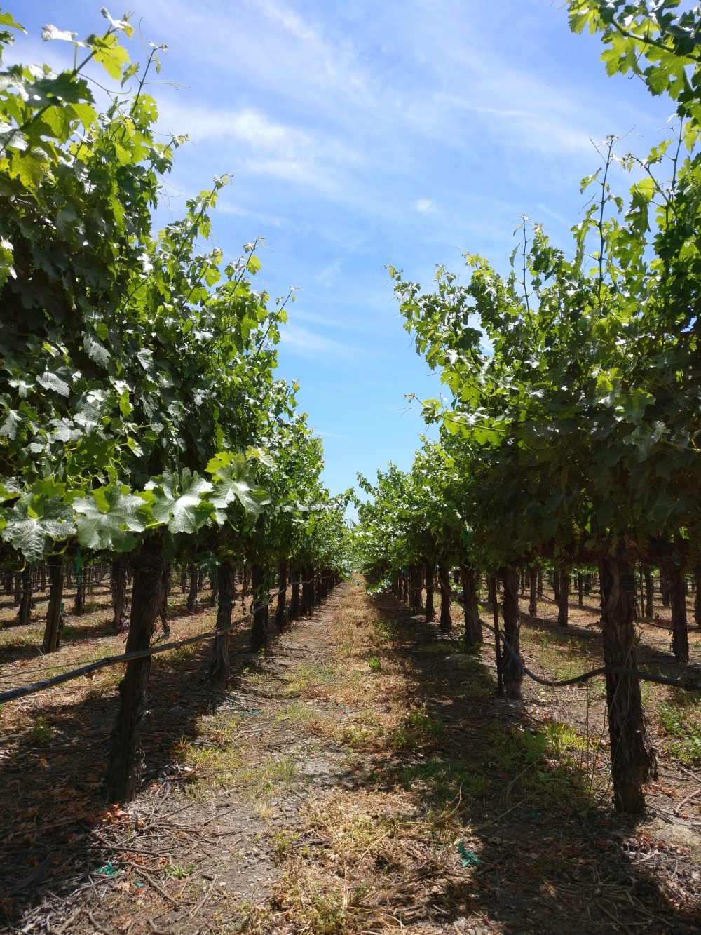 Willamette Valley Oregon Vineyard